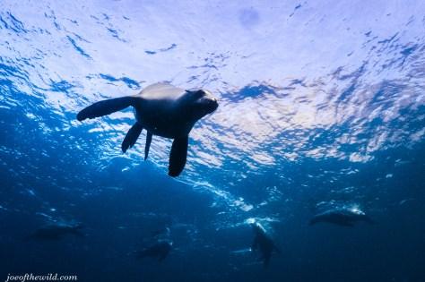 Curious seal swiming towards us.