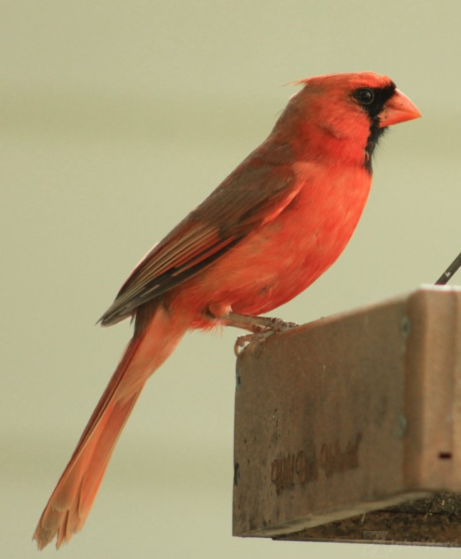 Red Cardinal feeding, London, Ontario