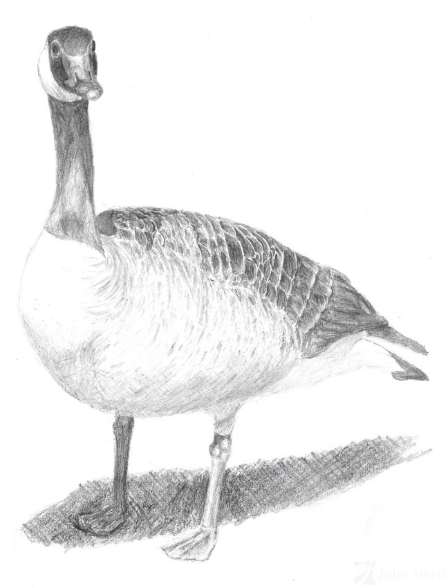 Pencil Drawing of a Canadian Goose