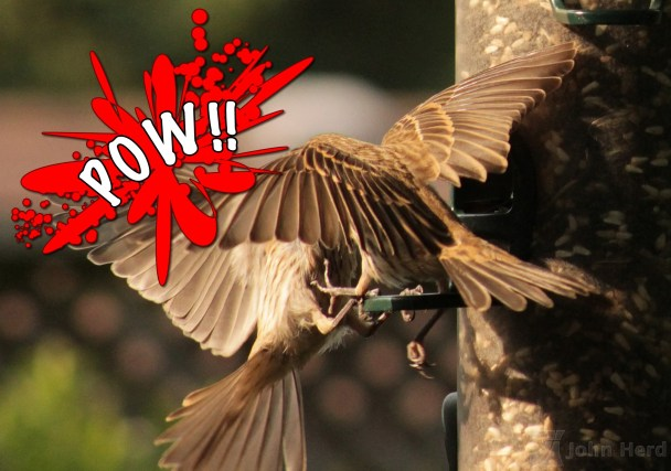 Sparrows in action