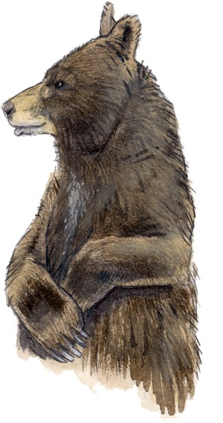 Bear black (brown)