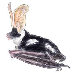 bat Euduma maculata