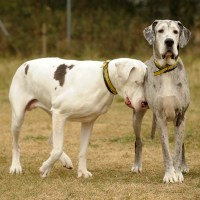 Blind Great Dane Lily with own guide dog, Madison