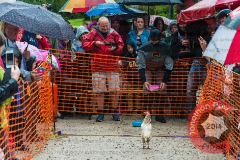 So near, yet so far, for this hen the finish line got overwhelming.