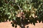 El pistacho ecológico cuadruplica su superficie en Andalucía