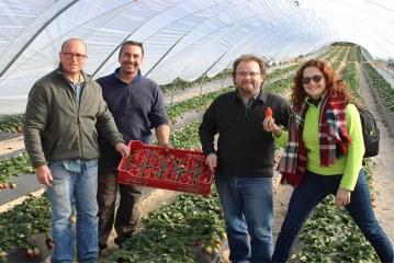 Campaña de fresa en Huelva: 50% menos de producción, pero mejores precios (vídeo)