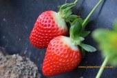 Desciende el precio de la fresa a niveles de hace tres campañas