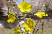 El Lino amarillo es elegida la planta de agosto