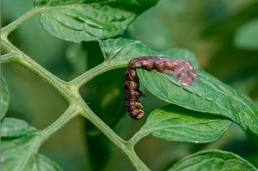 Larva-de-Helicoverpa-armigera