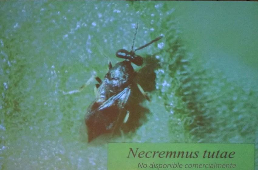 Necremnus tutae