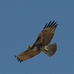 Light-morph juvenile Red tailed hawk above Oyster Bay Regional Shoreline.