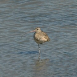 Long-billed Curlew in Hayward RS.