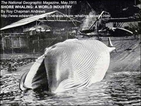 Finback_whale
