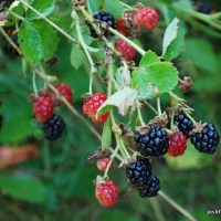 Foraging Wild Fruit: Common Blackberry