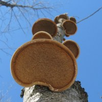 Medicinal Mushrooms: Birch Polypore