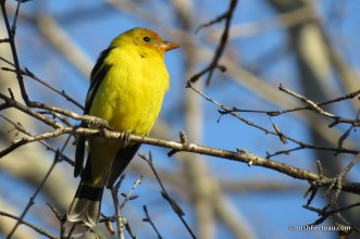 Photo of Western Tanager