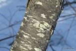 Photo of Black Cherry (Prunus serotina)