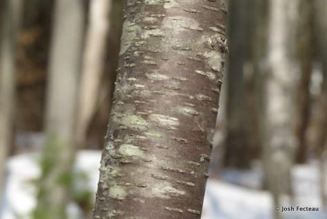 Photo of Cherry Birch bark
