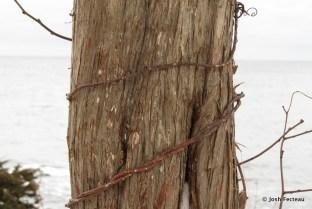 Photo of Eastern Red Cedar (Juniperus virginiana)