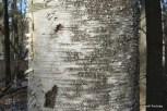 Photo of Paper Birch (Betula papyrifera)