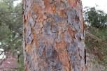 Photo of Scotch Pine (Pinus sylvestris)