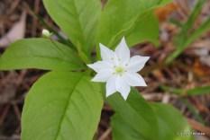 Photo of Starflower