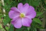Photo of Virginia Rose