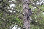 Photo of American Three-toed Woodpecker