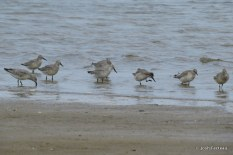 Photo of Red Knots (Aug)