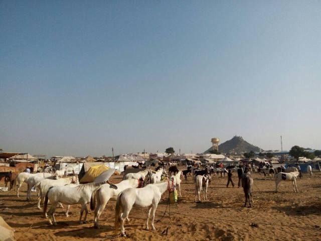 horses-at-camel-fair