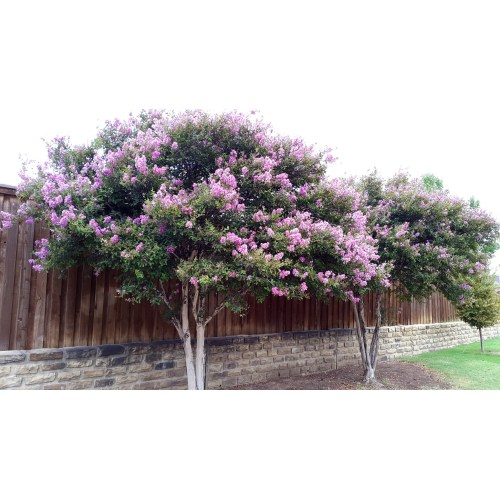 Medium Crop Of Trees With Purple Flowers