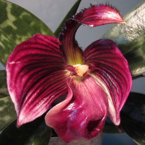Paph blooming in 2011