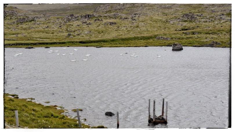 Swans on an alpine lake