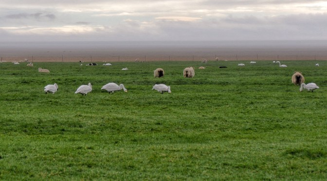 Sheep and swans share pasture in East Iceland