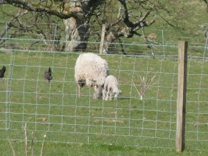 day old single lamb 14th april 2012