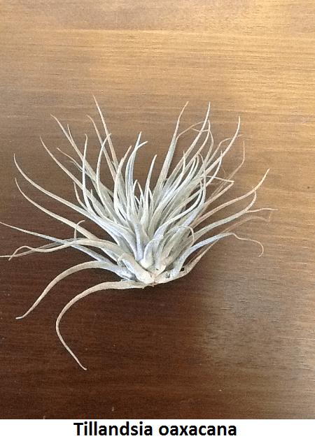 Tillandsia oaxacana- Large (Super Crazy) Image