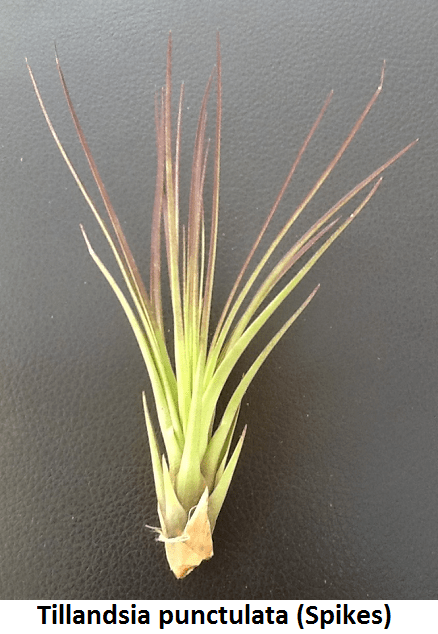 Tillandsia punctulata (Spikes) Image