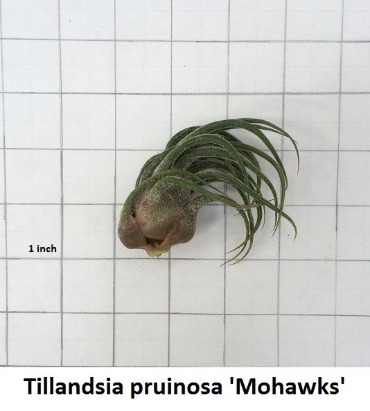 Tillandsia pruinosa (Mohawk) Image