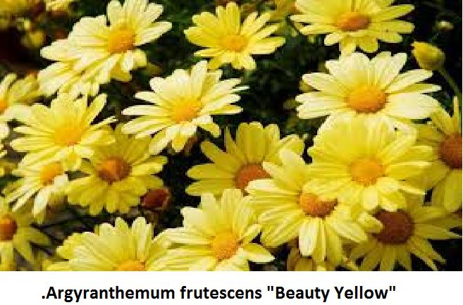 Argyranthemum Image