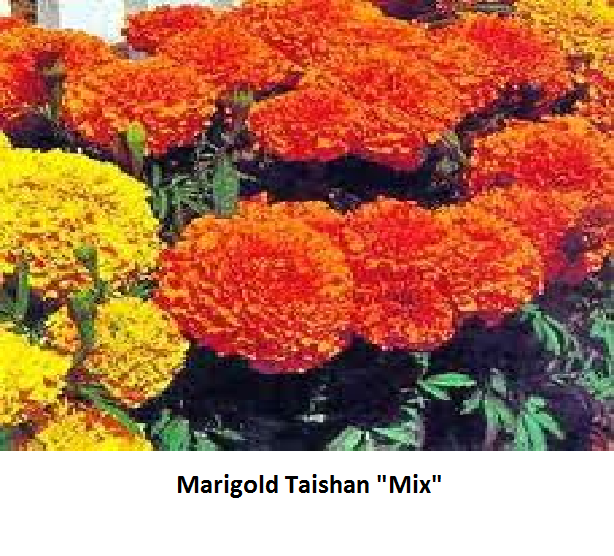 Marigold Taishan Series Image