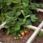 Strawberries & Thankfulness