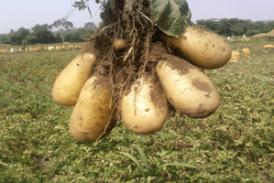 Moyenne Guinée : les champs de pomme de terre ravagés