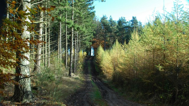 Fyrretræer og lærketræer på Mols