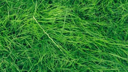 Medium Of Uc Verde Buffalo Grass