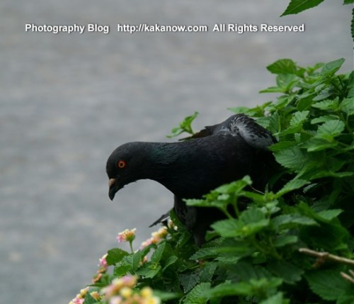 A nice black and gray pigeon in Tokyo street. Japan travel summer. Photo by KaKa.