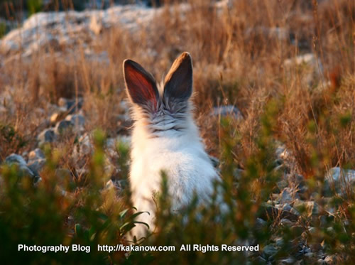 Rabbit Lapinpin in the mountain. France, Marseille, Luminy mountains. Photo by KaKa.