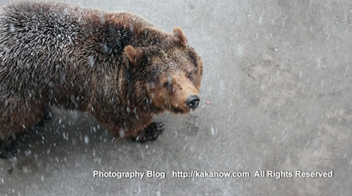 China Beijing Zoo, spring snow in March. Bear. Photo by KaKa.