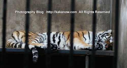 The sleeping tiger, March in China Beijing Zoo. Photo by KaKa.