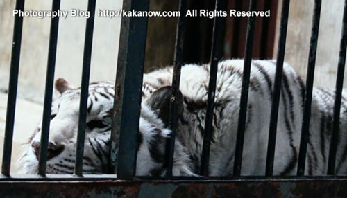 White tiger mother, China Beijing Zoo. Photo by KaKa.