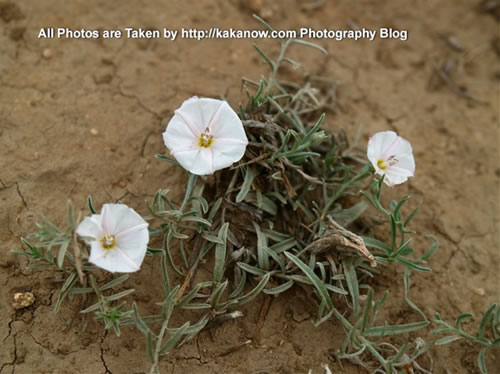 China travel, Inner Mongolia, Horqin Prairie, Desert Wildflower. Photo by KaKa.
